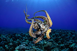 Common reef / Day octopus (Octopus cyanea) female showing suckers, Maui, Hawaii, Pacific Ocean  -  Visuals Unlimited