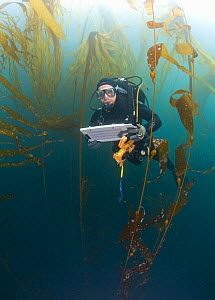 Research diver and marine biologist performing a Rockfish survey off Asilomar, Kelp Forest (Macrocystis pyrifera and Nereocystis), Monterey, California, Pacific Ocean, USA - Visuals Unlimited