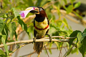 Chestnut eared Aracari (Pteroglossus castanotis) plucking and eating Morning Glory flower, Pantanal, Brazil, South America. - Visuals Unlimited