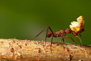 Leafcutter Ant (Atta colombica) worker transporting leaves, Costa Rica. - Visuals Unlimited