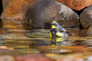Yellow rumped Warbler (Dendroica coronata) male bathing in a backyard pond, Colorado, USA.  -  Visuals Unlimited