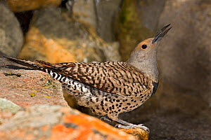 Northern Flicker (Colaptes auratus) female taking a sip of water from pond, USA  -  Visuals Unlimited