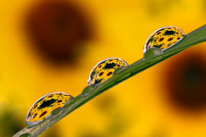 Black-eyed Susans refracted in dew drops on blade of grass  -  Visuals Unlimited