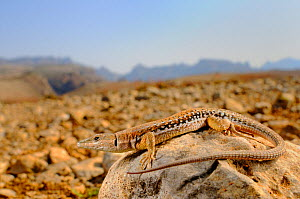 Wall Lizard (Mesalina balfouri) endemic to Socotra, in habitat, Archipelago Island, Socotra, Yemen.  -  Visuals  Unlimited
