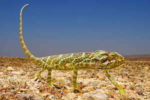 Monarch Chameleon (Chamaeleo monachus) walking on the ground, Socotra Archipelago Island, Socotra, Yemen.  -  Visuals  Unlimited