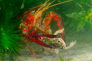 Louisiana Swamp Crayfish (Procambarus clarkii) preying on a Green Frog, captive  -  Visuals Unlimited