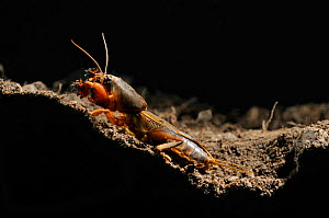 European Mole Cricket (Gryllotalpa gryllotalpa) emerging from its burrow at night, Po Plain, Italy. This species has been introduced into the Eastern USA.  -  Visuals Unlimited