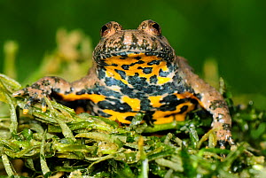 Yellow bellied Toad (Bombina variegata), Switzerland, captive  -  Visuals Unlimited