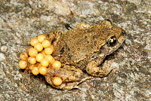 Midwife Toad (Alytes obstetricans) male carrying eggs on back, Switzerland  -  Visuals Unlimited