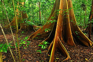 Buttress root of Red-Stem Fig Tree (Ficus variegata), Tangkoko Nature Reserve, North Sulawesi, Indonesia  -  Visuals Unlimited