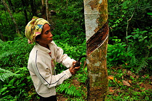 Worker incising a Rubber Tree to collect latex (Hevea brasiliensis), Bukit Lawang, Northern Sumatra, Indonesia  -  Visuals Unlimited