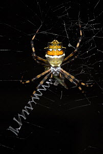 Silver argiope spider (Argiope argentata) on web, Manu, Peru  -  Robert Pickett