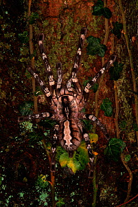 Indian Ornamental Tarantula (Poecilotheria regalis) on tree trunk, India - Robert Pickett