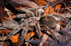 Chilean rose tarantula (Grammostola rosea) Costa Rica.  -  Robert Pickett