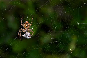 Garden Spider (Araneus diadematus) on web wrapping prey with silk, UK  Robert Pickett/Visuals Unlimited/ naturepl.com - Visuals  Unlimited