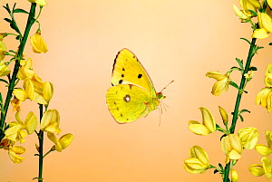 Clouded Yellow Butterfly male (Colias croceus) in flight flying over Broom flowers, UK  -  Robert Pickett
