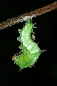 White Admiral Butterfly caterpillar pupating (Ladoga camilla), UK. Sequence 1 of 19.  -  Robert Pickett