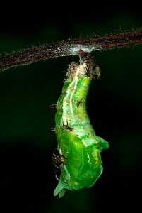 White Admiral Butterfly caterpillar pupating (Ladoga camilla), UK. Sequence 2 of 19.  -  Robert Pickett