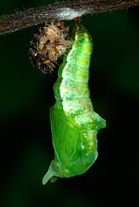 White Admiral Butterfly caterpillar pupating next to old skin (Ladoga camilla), UK. Sequence 3 of 19.  -  Robert Pickett