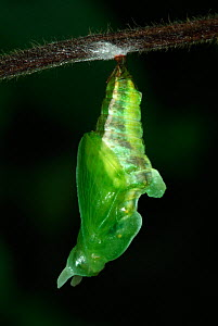 White Admiral Butterfly  (Ladoga camilla) pupa developing, UK. Sequence 4 of 19.  -  Robert Pickett