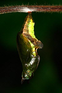 White Admiral Butterfly  (Ladoga camilla) pupa developing, UK. Sequence 5 of 19.  -  Robert Pickett
