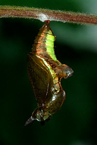 White Admiral Butterfly  (Ladoga camilla) pupa developing, UK. Sequence 7 of 19.  -  Robert Pickett