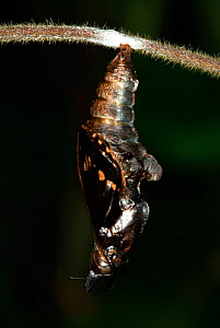 White Admiral Butterfly adult emerging from pupa (Ladoga camilla), UK. Sequence 8 of 19.  -  Robert Pickett