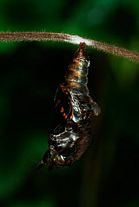 White Admiral Butterfly adult emerging from pupa (Ladoga camilla), UK. Sequence 9 of 19.  -  Robert Pickett