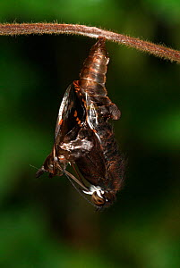 White Admiral Butterfly adult emerging from pupa (Ladoga camilla), UK. Sequence 11 of 19.  -  Robert Pickett