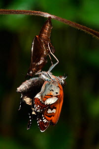 White Admiral Butterfly adult emerging from pupa (Ladoga camilla), UK. Sequence 12 of 19.  -  Robert Pickett