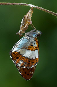 White Admiral Butterfly hatching from pupa (Ladoga camilla) drying wings, UK. Sequence 19 of 19.  -  Robert Pickett