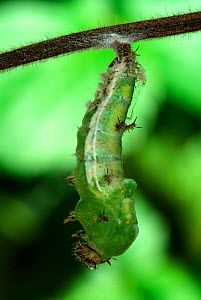 White Admiral Butterfly caterpillar pupating (Ladoga camilla), UK. Sequence 2 of 3  -  Robert Pickett