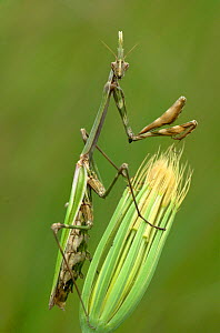 Cone-head Mantis (Empusa pennata) in striking posture, Provence, France  -  Robert Pickett