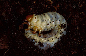Stag Beetle larva or grub in soil (Lucanus cervus) UK.  -  Robert Pickett