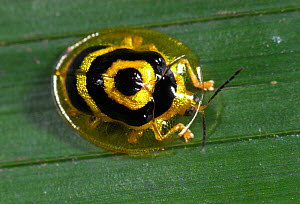 Tortoise Beetle (Chrysomelidae) Hacienda Baru, Costa Rica  -  Robert Pickett