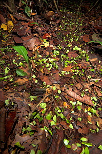 Leaf Cutter Ants (Atta cephalotes) on trail in rainforest taking leaves back to nest, Iquitos, Peru  -  Robert Pickett