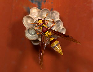 Paper Wasp (Polistinae) attending small nest with larvae, Hacienda Baru, Costa Rica  -  Robert Pickett