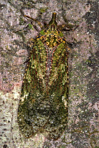 Lantern Bug (Fulgora) camouflaged on tree trunk, Manu, Peru  -  Robert Pickett