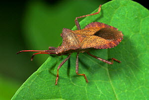 Dock Bug (Coreus marginatus) on leaf, UK.  -  Robert Pickett