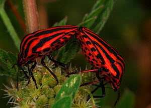 Stink Bugs mating (Graphosoma italicum), Provence, France.  -  Robert Pickett