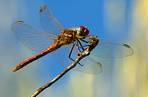 Vagrant Darter Dragonfly (Sympetrum vulgatum) resting on stem, Provence, France  -  Robert Pickett