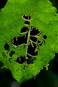 Sawfly larvae (Nematus caprese) feeding on Goat Willow leaves, Kent, UK  -  Robert Pickett