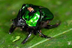 Iridescent Green Scarab Beetle (Scarabaeidae) male with Mite parasites, Iquitos, Peru  -  Robert Pickett