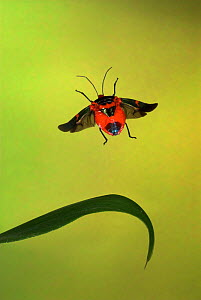 Stink Bug (Pentatomidae) in flight, Costa Rica.  -  Robert Pickett