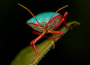 Stink Bug (Pentatomidae) portrait, Costa Rica  -  Robert Pickett