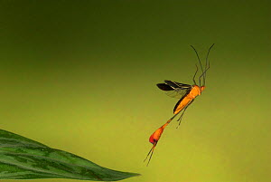 Flag-footed Bug (Anisoscelis flavolineata) in flight, Costa Rica  -  Robert Pickett