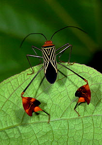 Flag-Footed Bug (Anisoscelis flavolineata), Hacienda Baru, Costa Rica  -  Robert Pickett