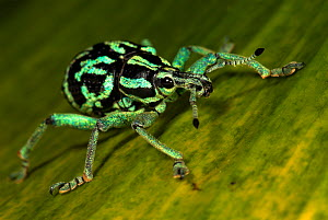 Weevil (Eupholus browni) Captive, occurs in Papua New Guinea.  -  Robert Pickett