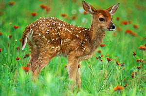 White-tail Deer five-week fawn (Odocoileus virginianus) captive, Minnesota, USA.  -  Robert Pickett
