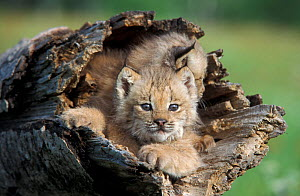 Canadian Lynx (Lynx canadensis) seven-week kittens in log, Minnesota, USA, captive.  -  Robert Pickett